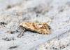 Cochylimorpha straminea 3 Copyright: Ben Sale