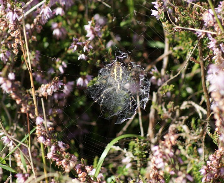 Argiope bruennichi (underside) Copyright: Robert Smith