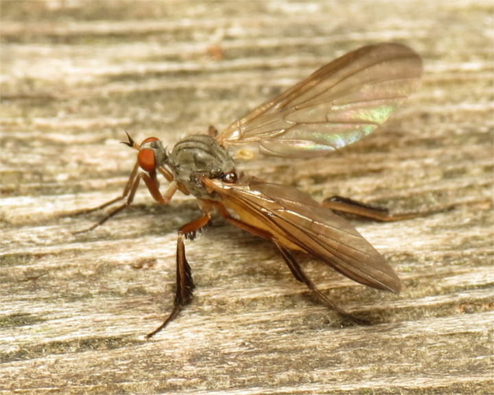Rhamphomyia barbata female 20150605-1581 Copyright: Phil Collins