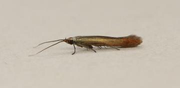 Coleophora trifolii Copyright: Graham Ekins