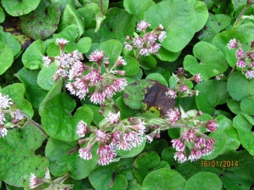 Winter Heliotrope Copyright: Graham Smith