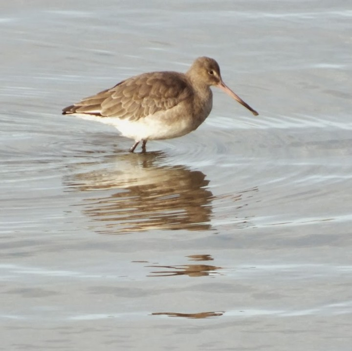 B!ack- tailed Godwit in winter plumage Copyright: Peter Pearson