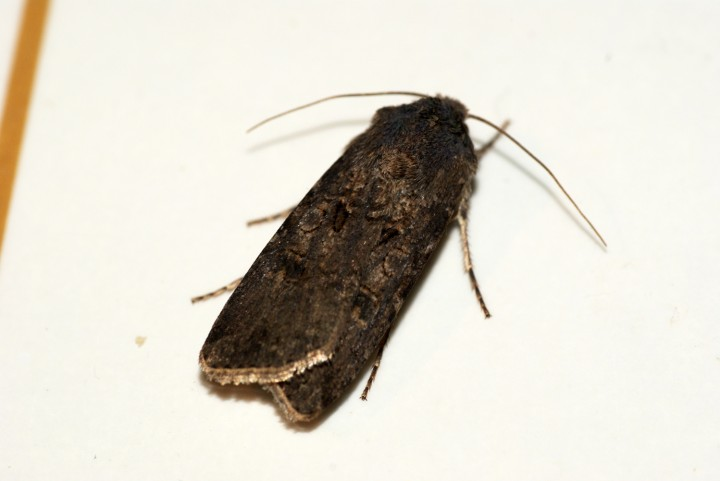 Turnip Moth Copyright: Ben Sale