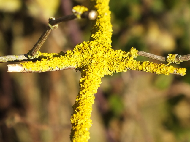 Common Orange Lichen on Elder Copyright: Peter Pearson