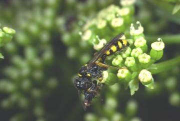 Mellinus arvensis