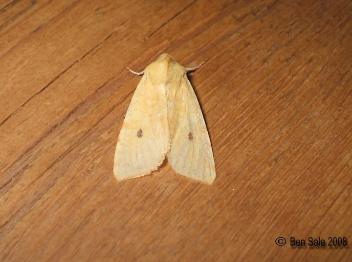 The Sallow F.flavescens Copyright: Ben Sale
