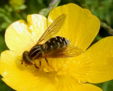 Anasimyia lineata on Meadow Buttercup Copyright: Roger Payne
