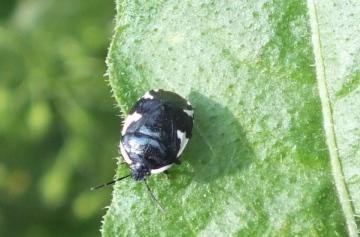 Rambur's Pied Shieldbug (Tritomegas sexmaculatus) Copyright: Peter Pearson