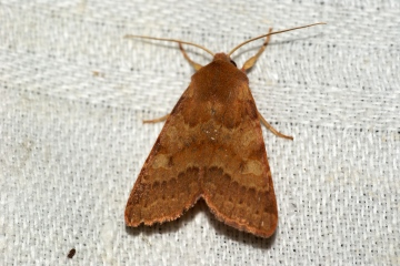 Flounced Chestnut Copyright: Ben Sale