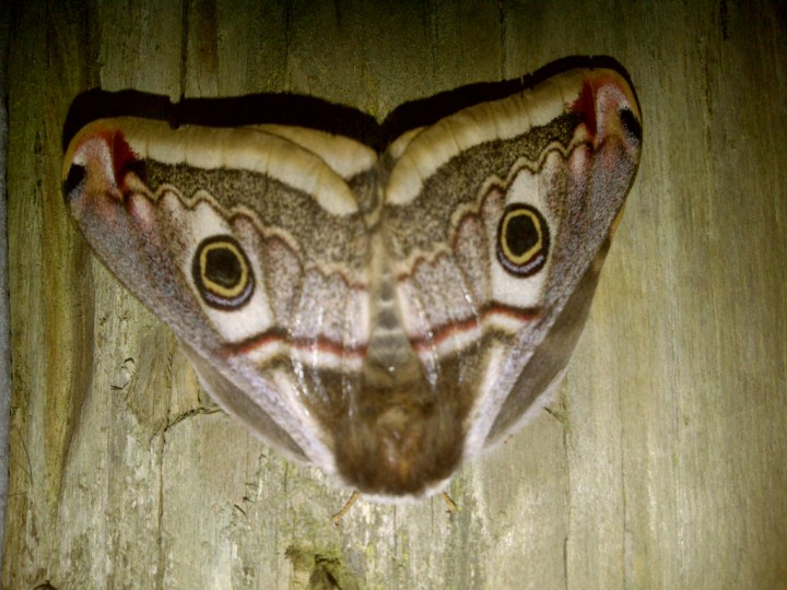Emperor Moth 2 Copyright: Graham Smith