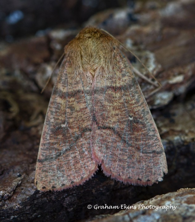Double-line  Mythimna turca Copyright: Graham Ekins