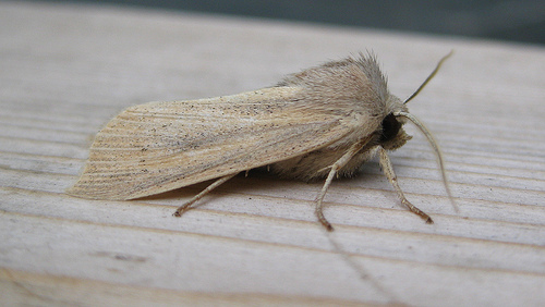 Small Wainscot Copyright: Stephen Rolls