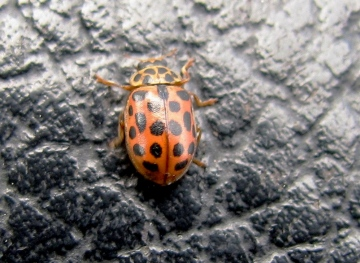 Water Ladybird Copyright: Graham Smith