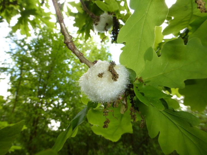 Cotton Wool Gall. Copyright: Stephen Rolls
