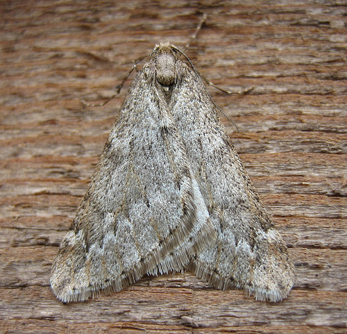 March Moth. Copyright: Stephen Rolls