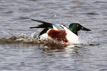 Drake Shoveler Copyright: Graham Smith