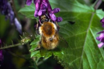 Bombus humilis Copyright: Peter Harvey