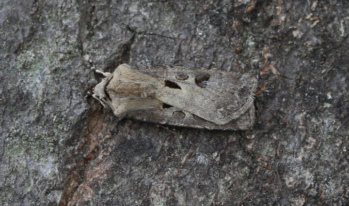 Heart and Dart  Agrotis exclamationis Copyright: Graham Ekins