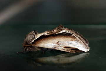 Lesser Swallow Prominent 2 Copyright: Ben Sale