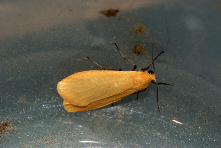 Orange Footman 2 Copyright: Ben Sale