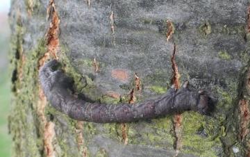 Peppered Moth caterpillar Copyright: Peter Pearson