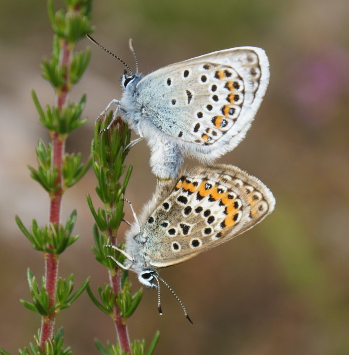 Silver-studded Blue (in cop) Copyright: Robert Smith