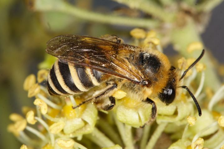 Colletes hederae Copyright: Peter Harvey