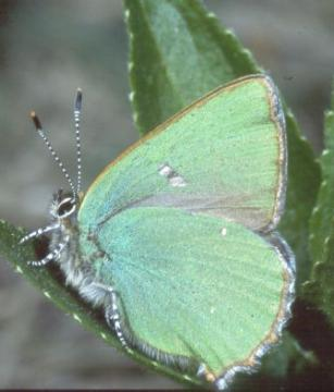 Callophrys rubi Copyright: Peter Harvey