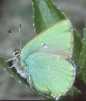 Callophrys rubi Copyright: Peter Harvey