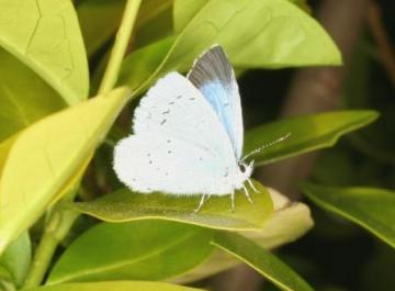 Celastrina argiolus Copyright: Peter Harvey