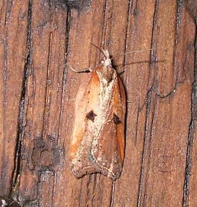 Acleris cristana 4 Copyright: Ben Sale