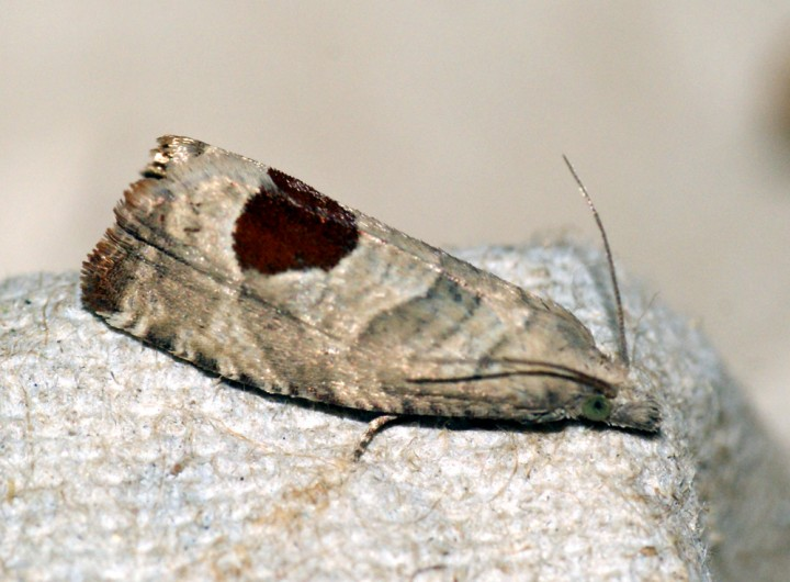Bramble Shoot Moth (Epiblema uddmanniana) Copyright: Ben Sale