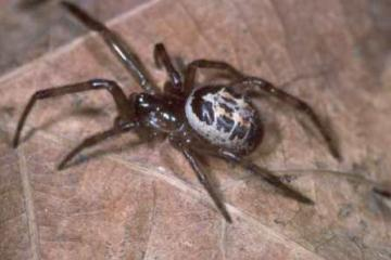 Steatoda nobilis Copyright: Peter Harvey