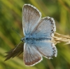 Chalkhill Blue Copyright: Robert Smith
