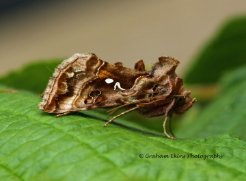 Autographa pulchrina  Beautiful Golden Y 2 Copyright: Graham Ekins