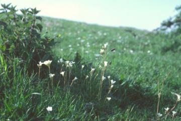 Saxifraga granulata Copyright: Peter Harvey