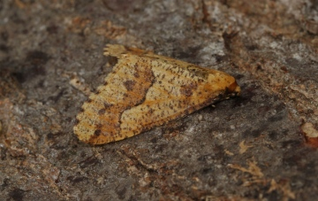 Mottled Umber  Erannis defoliaria Copyright: Graham Ekins