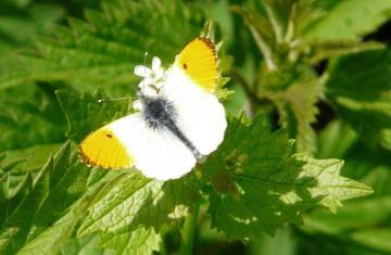 Orange Tip (male) Copyright: Alan Shearman