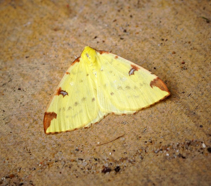 Brimstone Moth 1 Copyright: Ben Sale