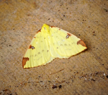 Brimstone Moth 1 Copyright: Ben Sale