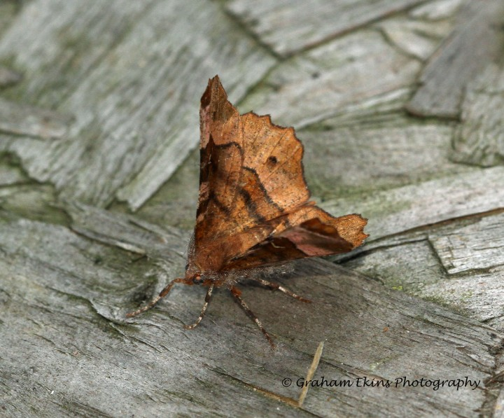 Selenia tetralunaria  Purple Thorn second generation Copyright: Graham Ekins