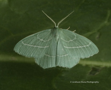 Hemistola chrysoprasaria   Small Emerald Copyright: Graham Ekins