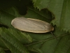 Dingy Footman Copyright: Peter Furze