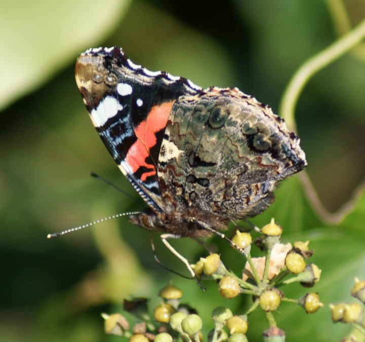 Red Admiral (underside) Copyright: Robert Smith