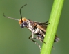 Micropterix calthella. Copyright: Peter Furze