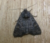Common Rustic agg Copyright: Stephen Rolls