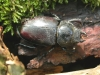 Stag beetle - female Copyright: Robin Barfoot