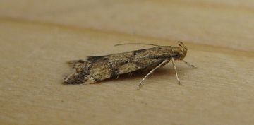 Brachmia blandella Copyright: Stephen Rolls