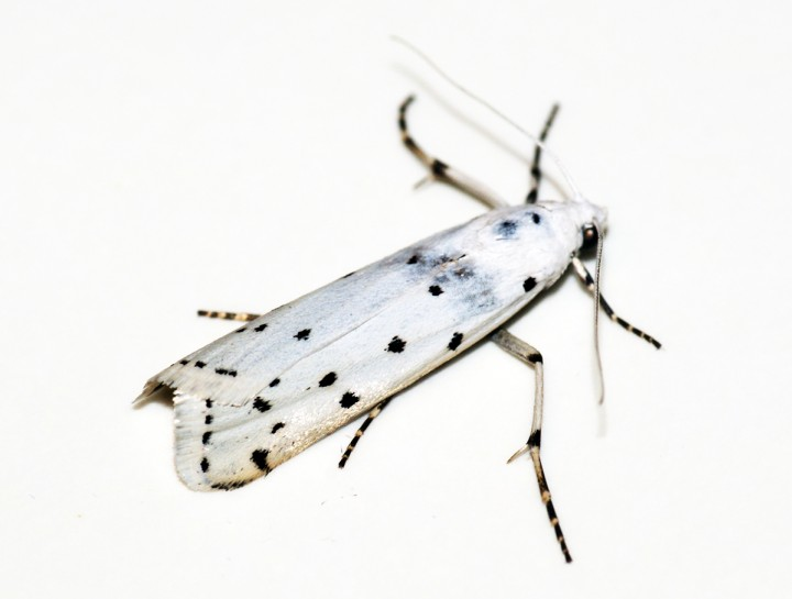 Thistle Ermine 2 Copyright: Ben Sale