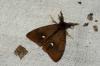 Vapourer Moth Male Copyright: Ben Sale